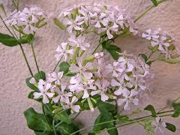サクラコマチ花